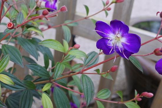 紫紺野牡丹.JPG